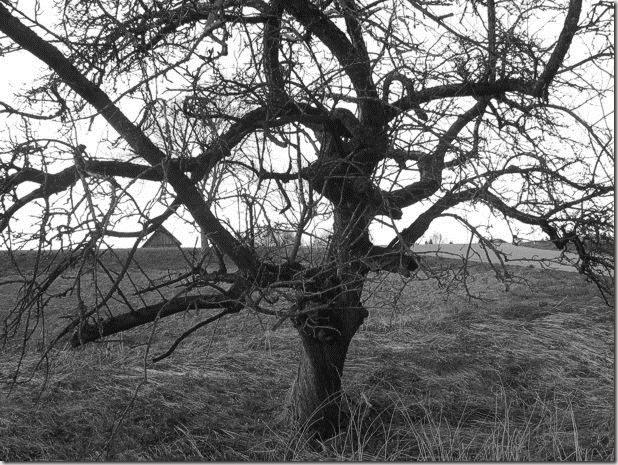 alterapfelbaum-foto-by-arkis