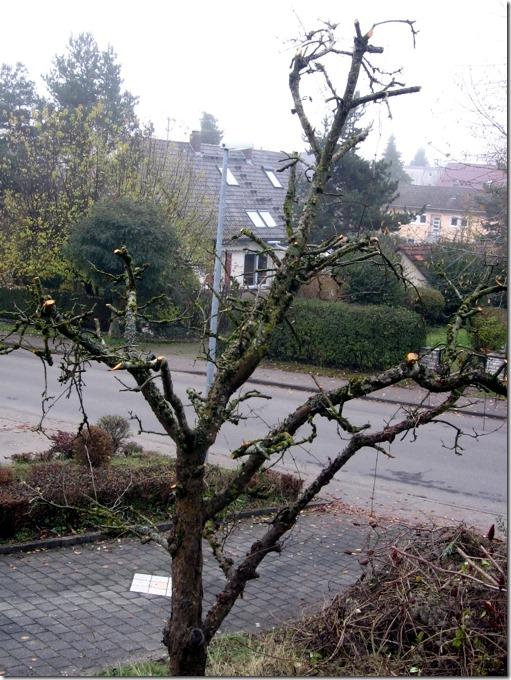 alterapfelbaum-im-garten-geschnitten-foto-arkis-11-19